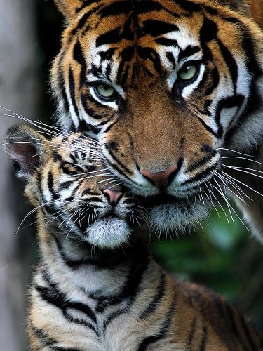 """Tigress and Cub"" Photo by Talvinder Chohan"